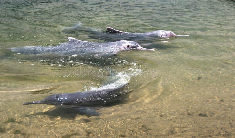 Sehr seltene rosa Delphine lizenzfreies stockfoto