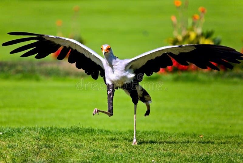 Sehr seltene Sorte des Raubvogels stockfotos