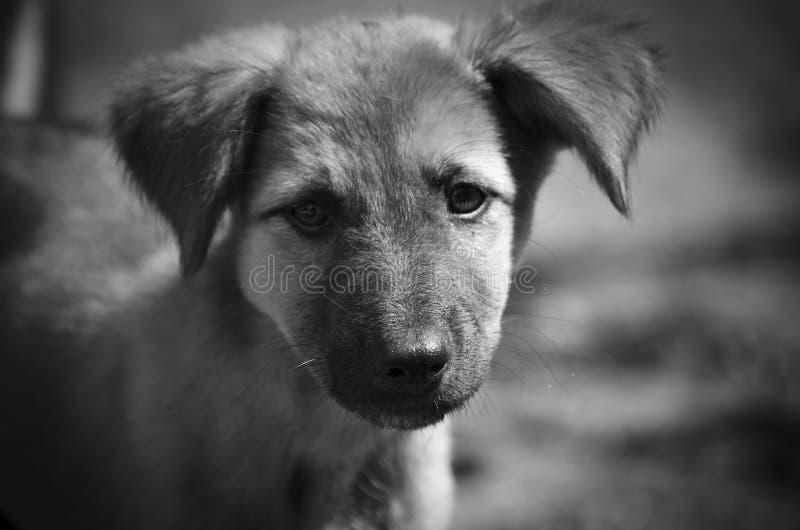 Sehr traurige Augen in solch einem nettem Welpen Einfarbiges Portrait lizenzfreies stockfoto