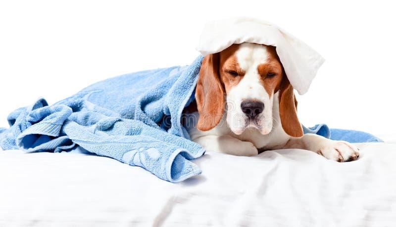 Sehr viel kranker Hund auf weißem Hintergrund lizenzfreie stockfotografie