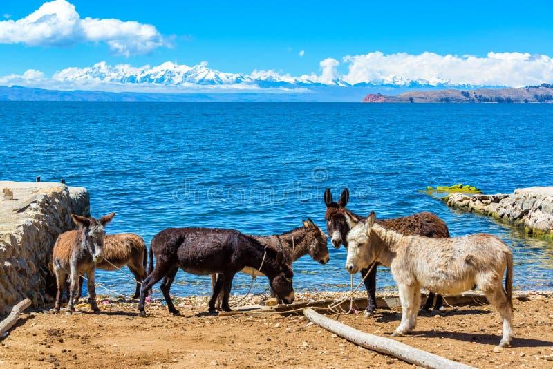 Sei asini e Titicaca immagini stock libere da diritti