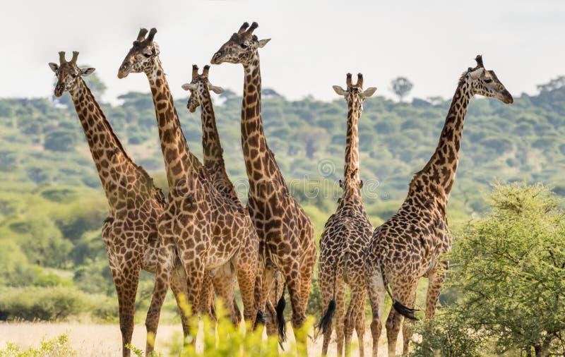 Sei giraffe fotografia stock