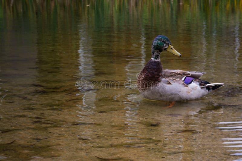 Seichtes Wasser-Pond See Duck Mallard Floating Standing Swimmings stockfotografie