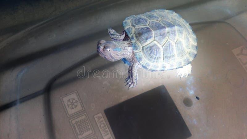 Seide die Schildkröte lizenzfreie stockfotografie