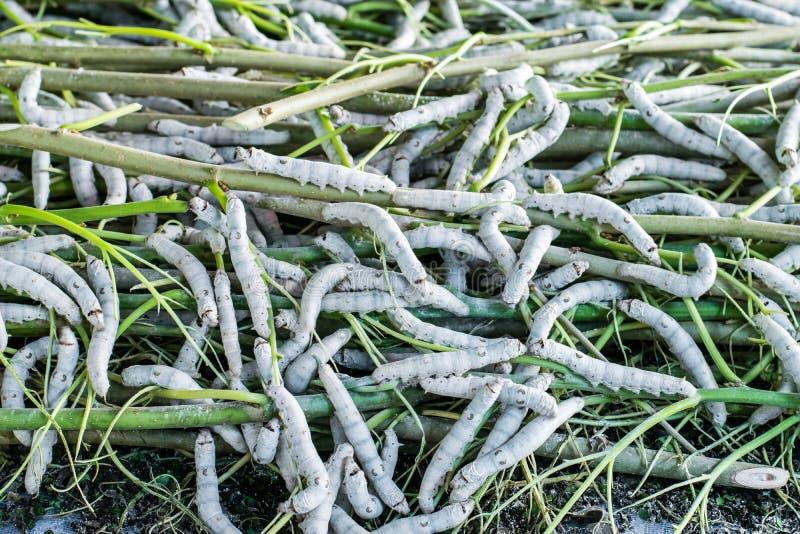 Seidenraupe, die Blattmaulbeere isst stockfotos