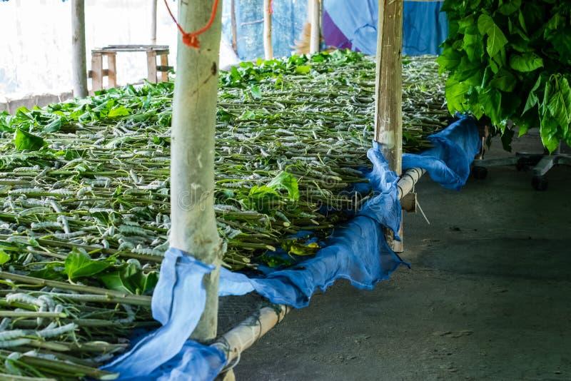 Seidenraupe, die Blattmaulbeere isst lizenzfreies stockfoto