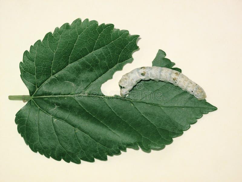 Seidenraupe- und Maulbeereblatt stockbilder