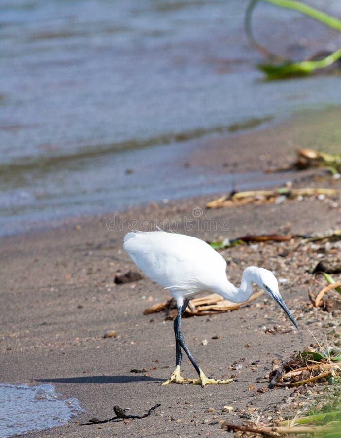 Seidenreiher, der nach Lebensmittel auf Strand sucht stockfotos
