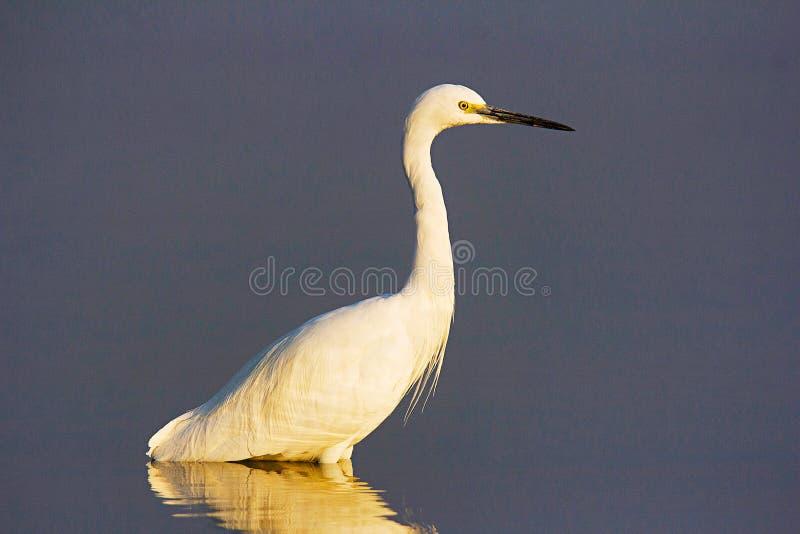 Seidenreiher, Egretta garzetta, Chambal-Fluss, Rajasthan lizenzfreies stockfoto
