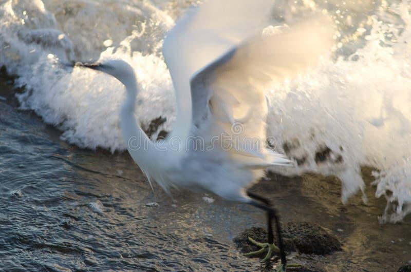 Seidenreiher Egretta garzetta, das Flug nimmt stockfotografie