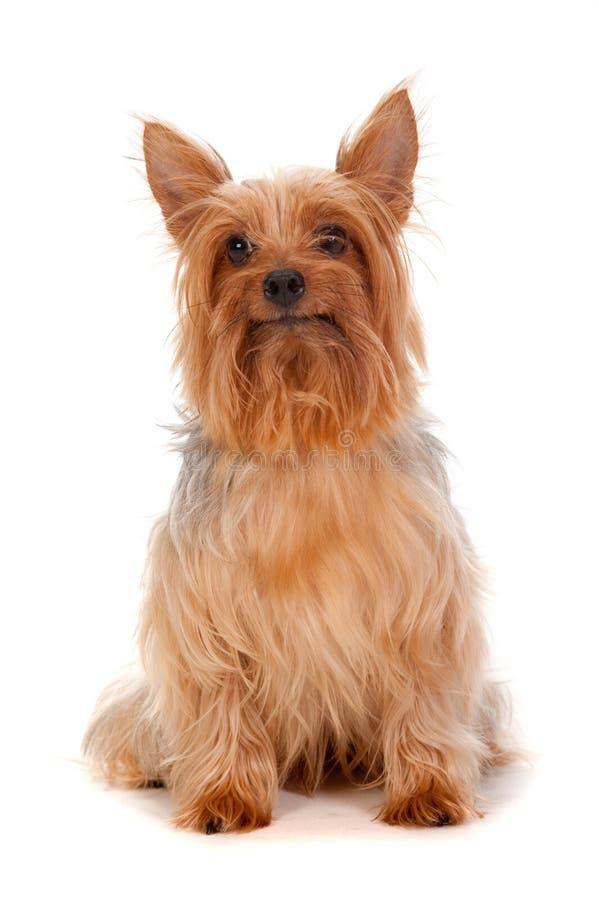 Seidiger Terrier stockfoto