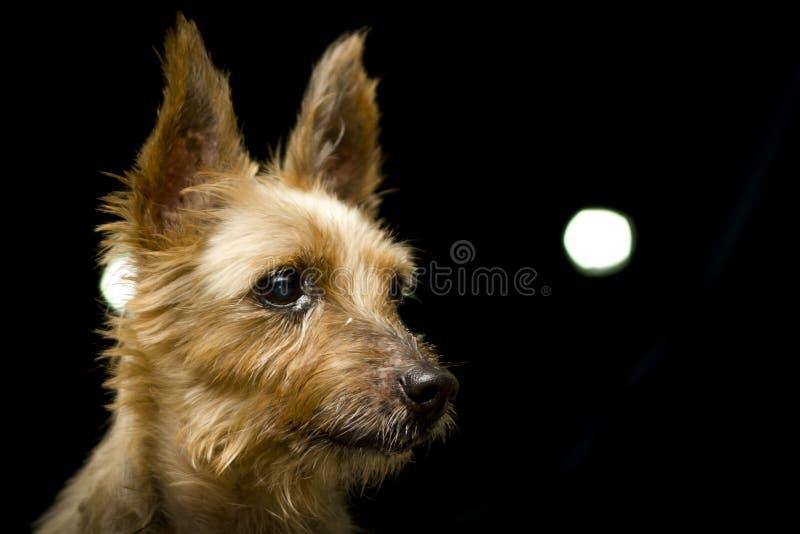 Seidiges Terrier-Hundeporträt lizenzfreies stockbild