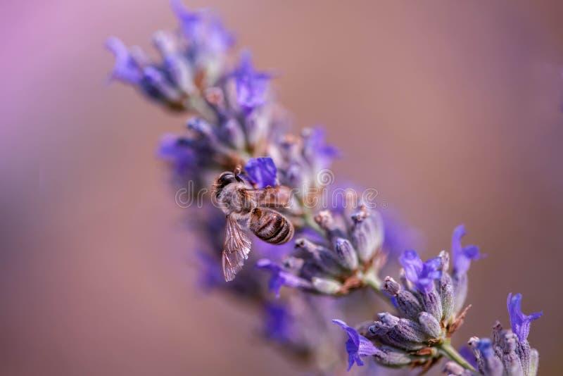 Seien Sie eine Lavendelbiene lizenzfreie stockfotos