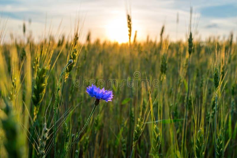 seigle de maturation de champ de bleuet photo stock