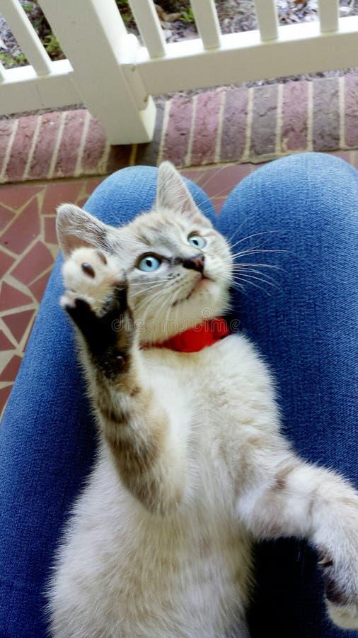 Seimes小猫 库存照片