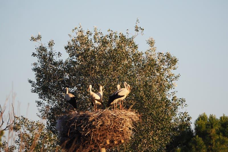 Seis cegonhas que controlam seus espaço, Ivars e Vilasana, lerida foto de stock
