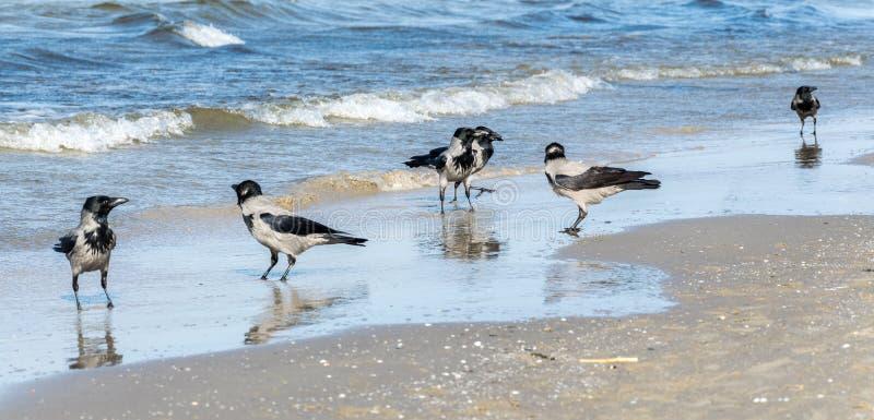 Seis cuervos grises, Corvus Cornix, caminando en agua poco profunda foto de archivo