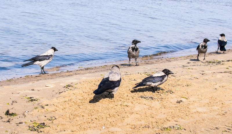 Seis cuervos grises que caminan en agua poco profunda en un d?a soleado foto de archivo