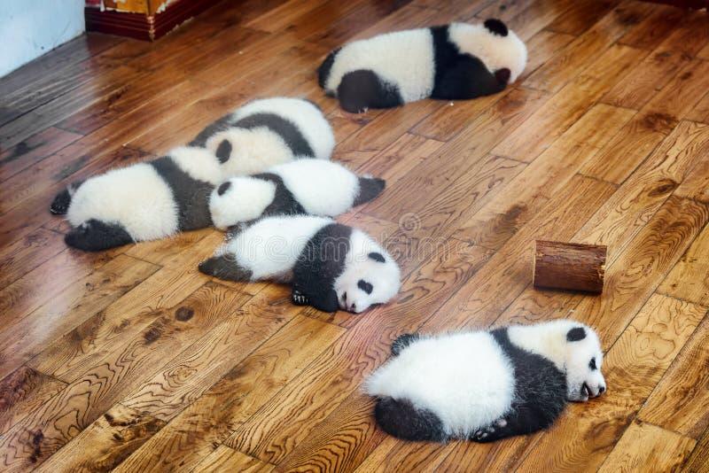 Seis filhotes da panda gigante que dormem no assoalho de madeira imagens de stock