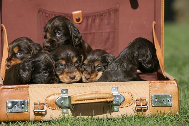 Seis filhotes de cachorro ingleses do Spaniel de Cocker em uma mala de viagem imagens de stock