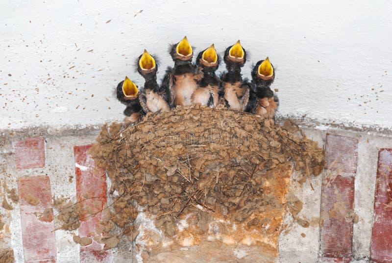 Seis filhotes de passarinho da andorinha em seu ninho que chamam para o alimento imagem de stock royalty free