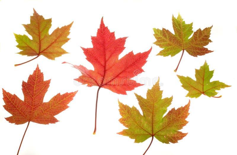 Seis hojas de arce en blanco fotografía de archivo