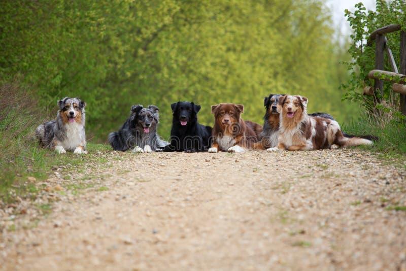 Seis pastores australianos en fila fotos de archivo libres de regalías