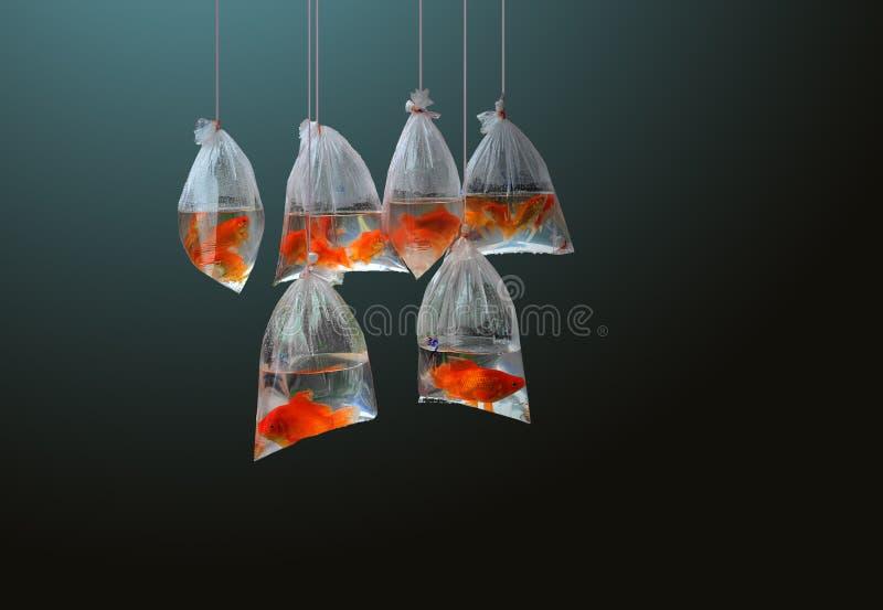 Seis peixes vermelhos pequenos nos sacos de polietileno que penduram em cordas imagem de stock