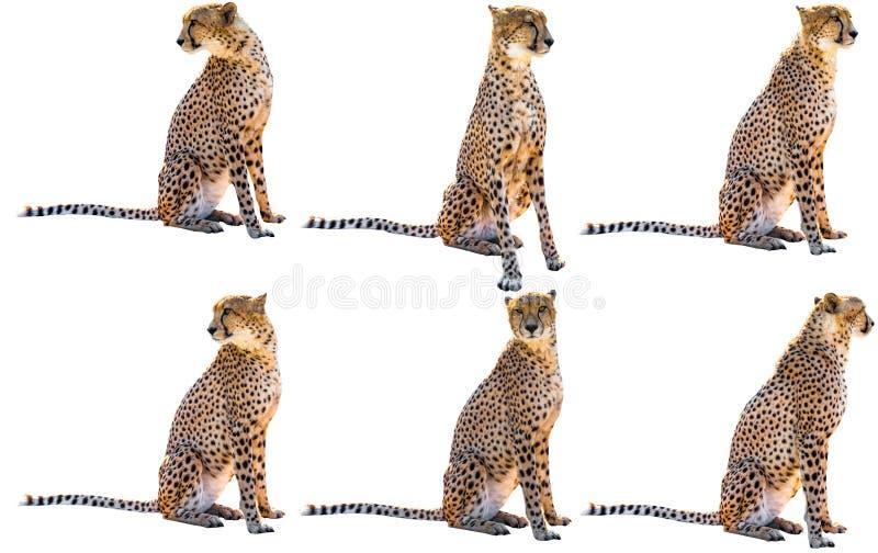 Seis sentadas del guepardo foto de archivo libre de regalías
