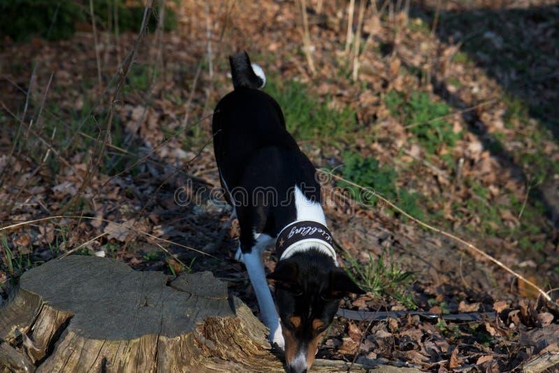 Seiten- Draufsicht einer Tri Farbe-basenji Stellung auf einem Waldboden, der herein schnüffelt, meppen emsland Deutschland lizenzfreie stockfotografie