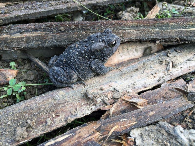 Seitenansicht der Kröte über Holz lizenzfreies stockfoto