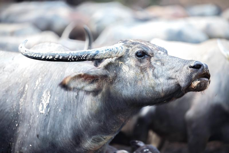 Seitenansicht des Büffelkopfes im Freien Buffolo bedeckte Haut durch den getrockneten Lehm, der die Kamera betrachtet stockbilder