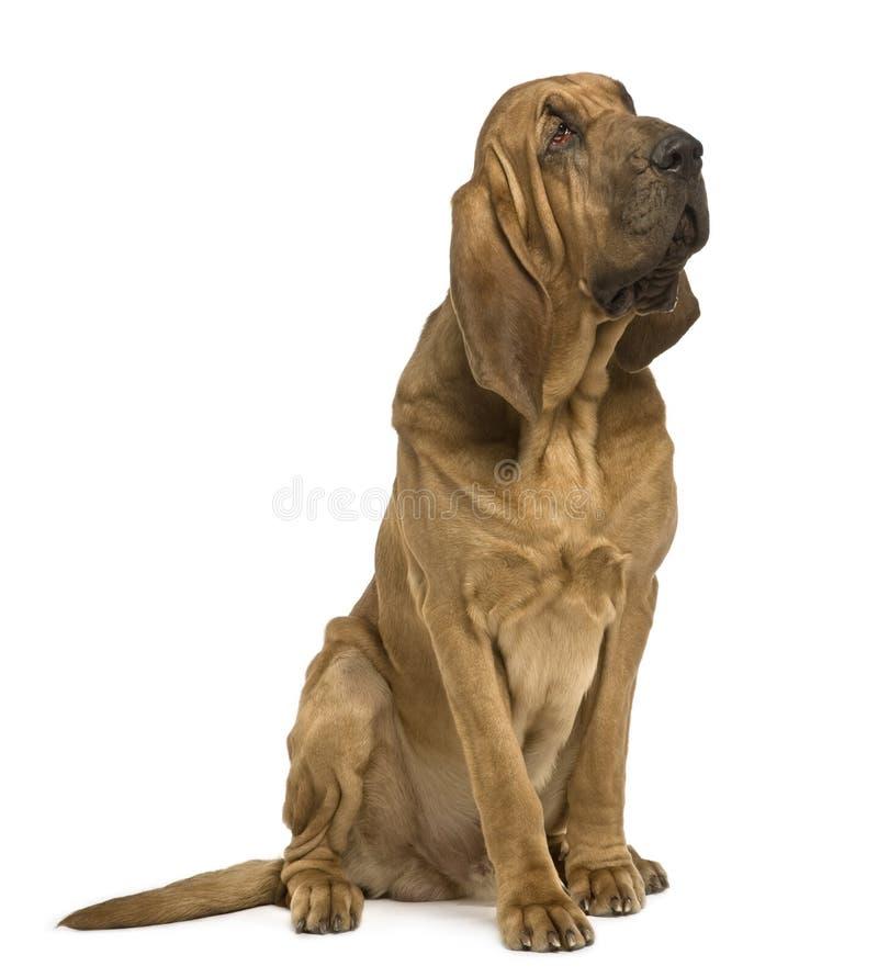 Seitenansicht des Heilig-Hubert Hundes, sitzend lizenzfreie stockbilder