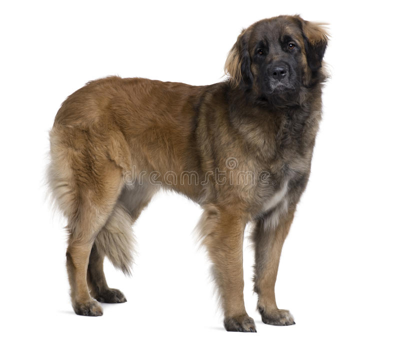 Seitenansicht des Leonberger Hundes, stehend stockbild