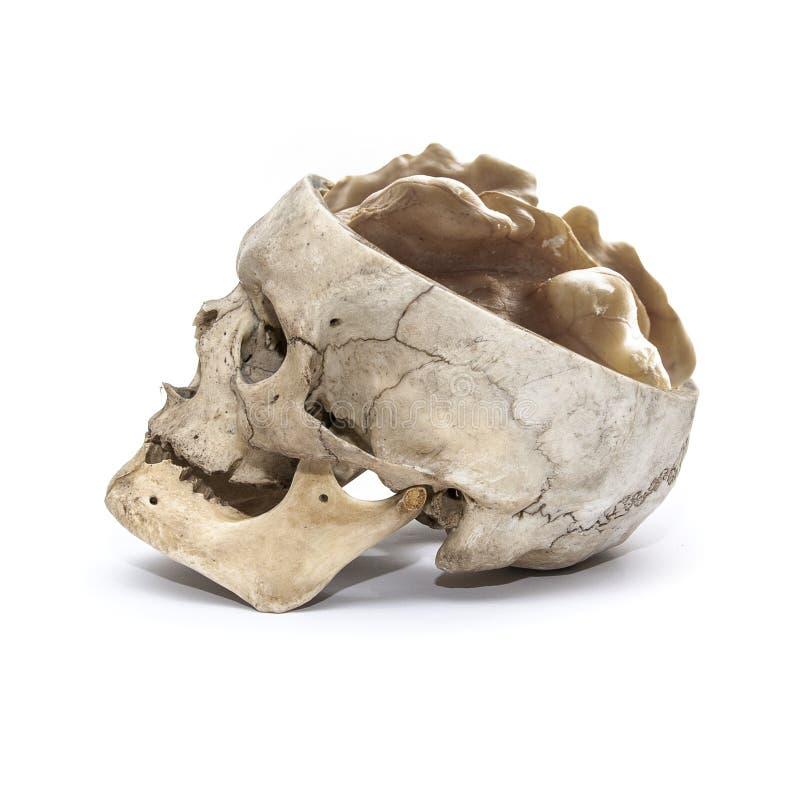 Seitenansicht des menschlichen Schädels mit Walnuss anstelle des Gehirns stockfotografie