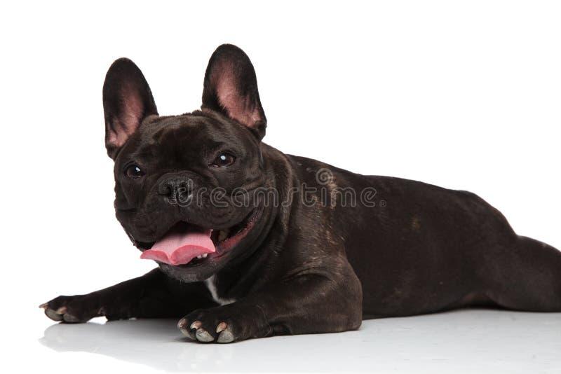 Seitenansicht des netten liegenden Keuchens der französischen Bulldogge stockbilder