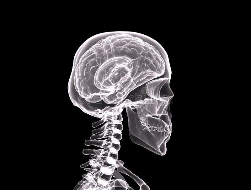 Seitenansicht des Röntgenstrahls/des Gesichtes lizenzfreie abbildung