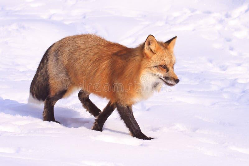 Seitenansicht des roten Fuchses stockbilder