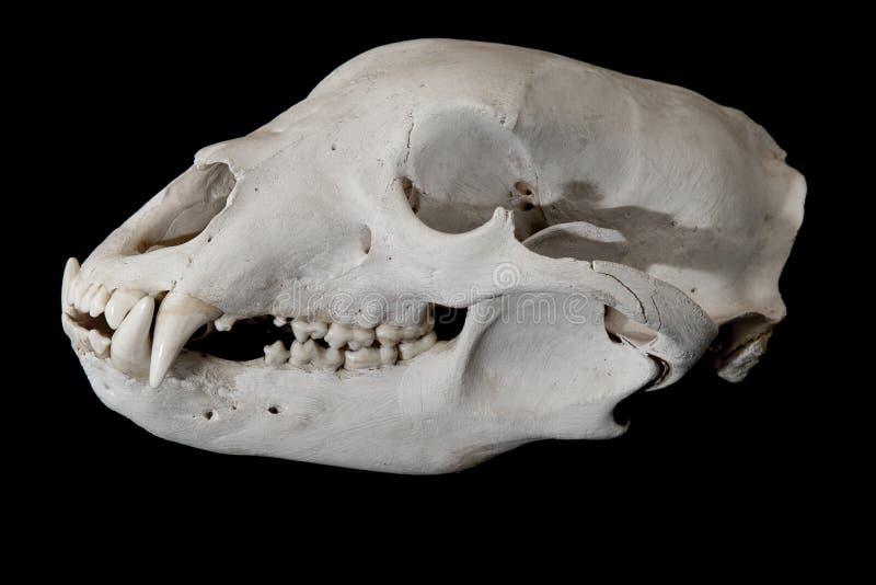 Seitenansicht des Schädels des schwarzen Bären stockfoto