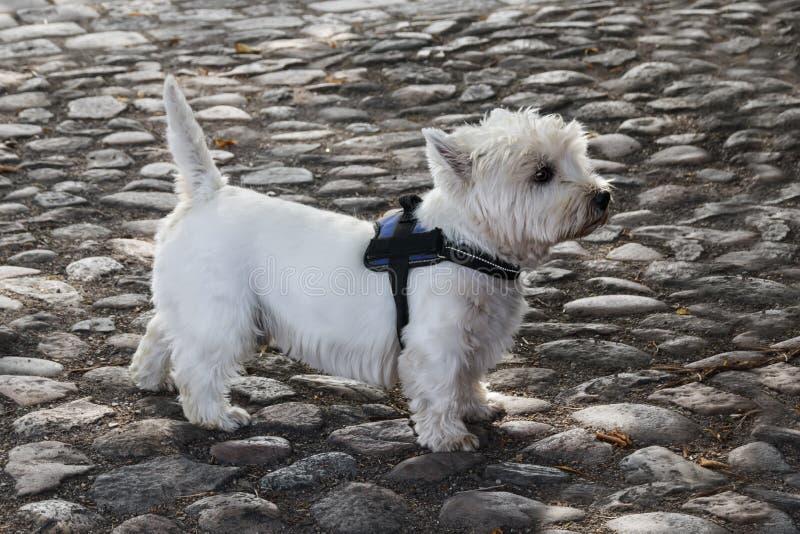 Seitenansicht des West Highland White Terriers stockfotografie