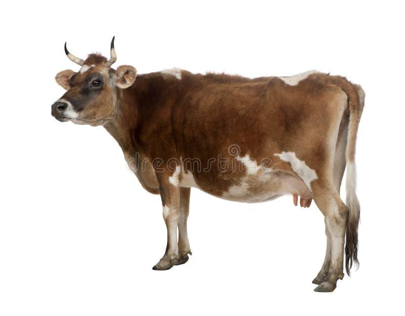 Seitenansicht einer braunen Jersey-Kuh (10 Jahre alt) stockfotografie