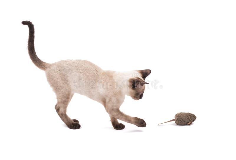 Seitenansicht einer jungen siamesischen Katze, die an einer Spielzeugmaus swatting ist stockbild
