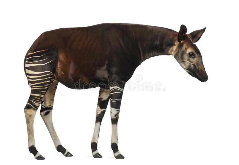 Seitenansicht einer Okapistellung, unten schauend, Okapia johnstoni stockfoto