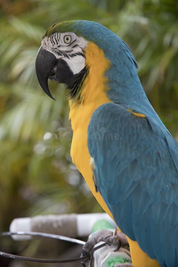 Seitenansicht eines blauen und gelben Keilschwanzsittichs lizenzfreie stockfotos