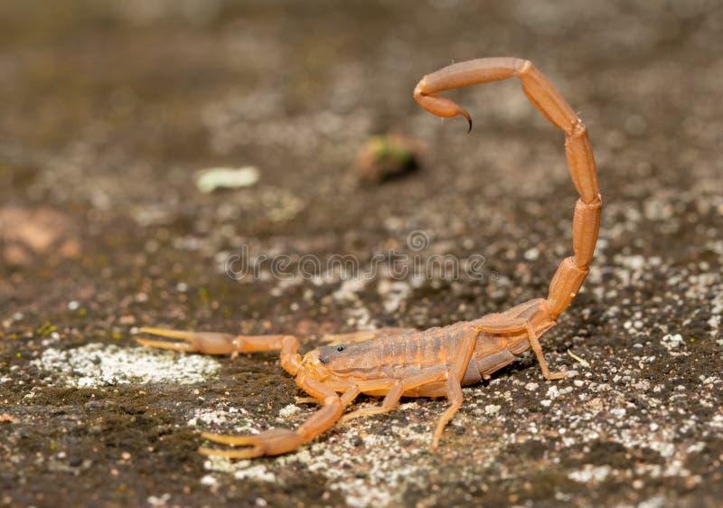 Seitenansicht eines gestreiften Barken-Skorpions mit seinem Stinger über seinem zurück stockfotografie