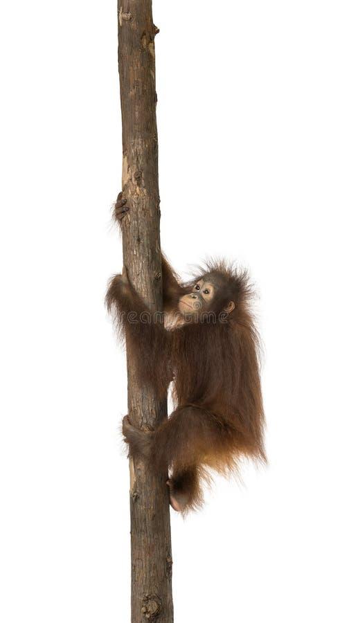 Seitenansicht eines jungen Bornean-Orang-Utans, der auf einem Baumstamm klettert stockfotos