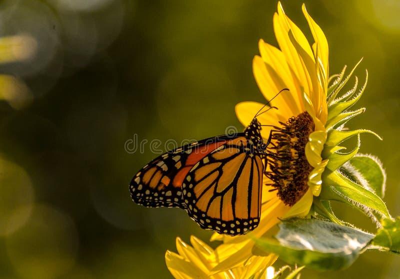Seitenansicht eines Monarchfalters, der auf eine Sonnenblume mit einem dunklen Hintergrund einzieht lizenzfreies stockbild