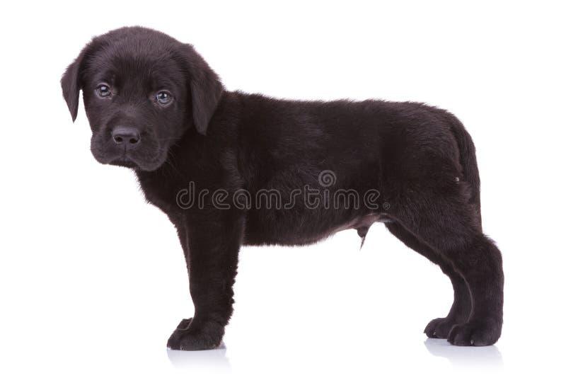 Nettes schwarzes Labrador-Hündchen, welches die Kamera betrachtet lizenzfreies stockbild