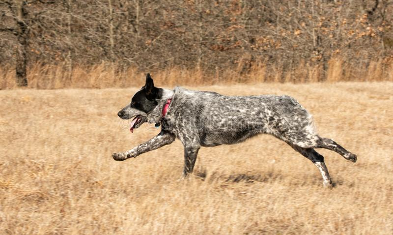Seitenansicht eines Texas Heeler-Hundes, der über eine Rasenfläche läuft stockbild