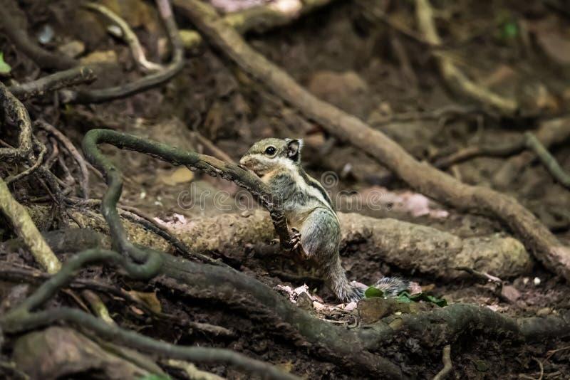 Seitenansicht eines wilden Streifenhörnchens lizenzfreie stockfotos